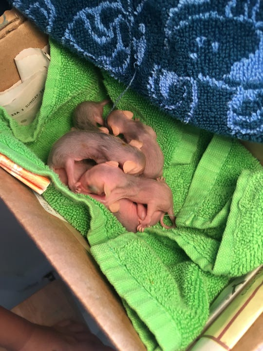 Macy Thompson, 10, found a dead mother opossum and seven joeys in her backyard in Naples on Monday, Sept. 30, 2019.