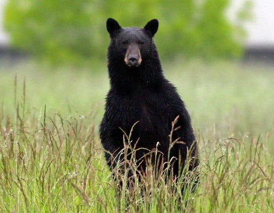 The bow and muzzle loader season for bears is scheduled to run through Saturday.