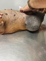 One of the large hernias on Penelope's belly being checked at Anthony Animal Clinic.