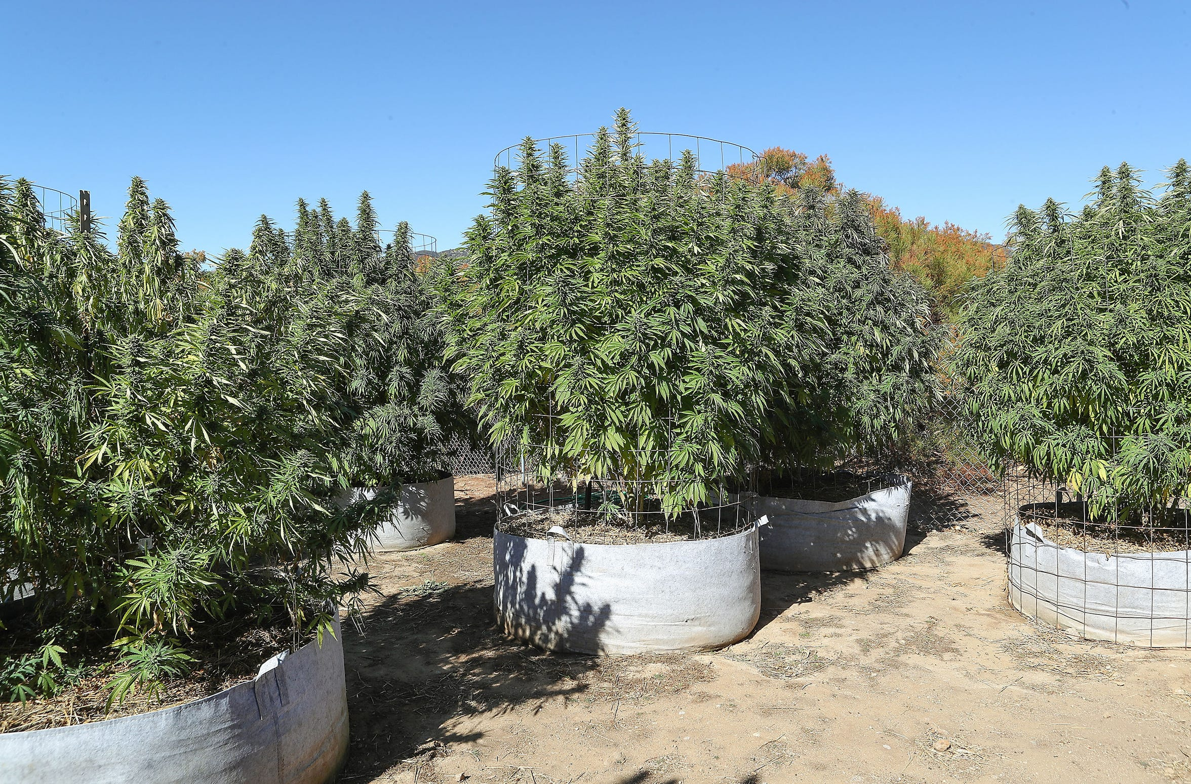 Cannabis plants grow at a pot farm in Anza, Calif., October 3, 2019.