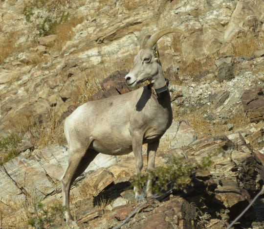 A collared bighorn ewe scans the horizon in the northern Santa Rosa Mountains.