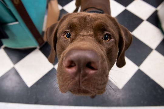 Dutch, a 1-year-old Mastador, can be found roaming around Rock Papers Scissors Salon. The salon has even created special Dutch magnets, with the proceeds going to the York County SPCA.