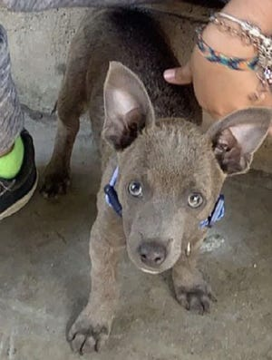 "Seaside police are asking for the public's help in tracking down whoever stole ""Spooky,"" a Chihuahua mix puppy, earlier this week."