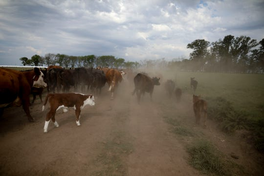 This Oct. 9, 2019 photo shows cattle belonging to farmer Sebastian Campo on the outskirts of Pergamino, Argentina. Export restrictions imposed during Cristina Fernandez's 2007-2015 populist government triggered a revolt by farmers in 2008 in one of the world's top suppliers of grains.  (AP Photo/Natacha Pisarenko)