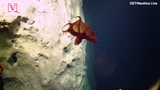 Scientists exploring the deep seas were treated to a shape-shifting show from this octopus which is rarely seen on camera.