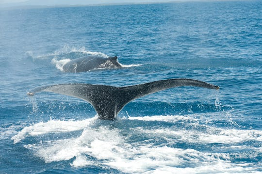 Humpback whales from the population that lives off Brazil's east coast. The population has rebounded from a low of 440 to almost pre-whaling levels.