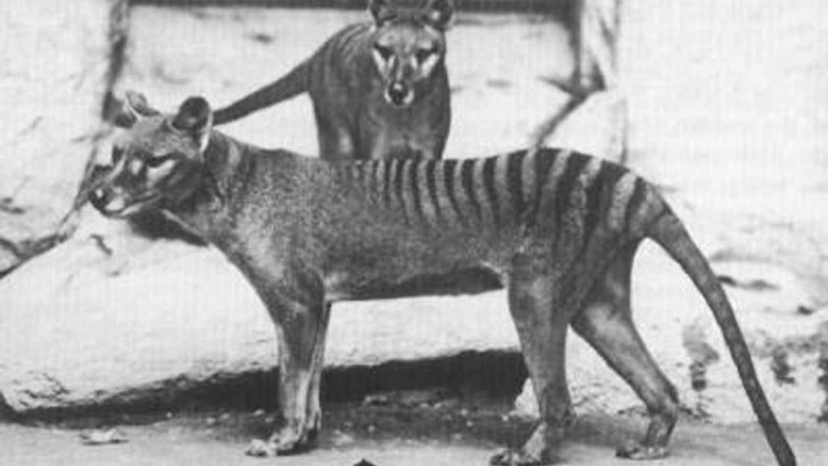 Tasmanian Tiger Spotted Years After Extinction Australian Officials
