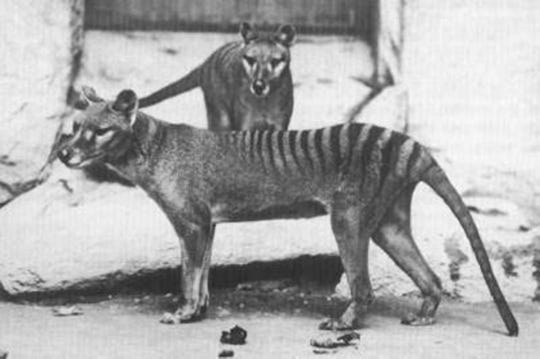 Long-extinct Tasmanian tigers spotted at least eight times, officials say
