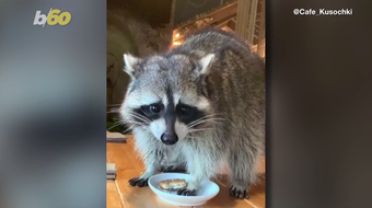 A rascally Russian raccoon broke into a Moscow restaurant much to the shock of the employees. Buzz60's Mercer Morrison has the story.
