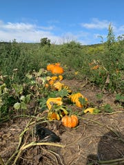 You can find pumpkins (and gourds) of all different shapes and sizes while wandering through a pumpkin patch.