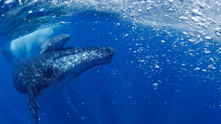For once, good environment news: A humpback whale population has come back from the brink