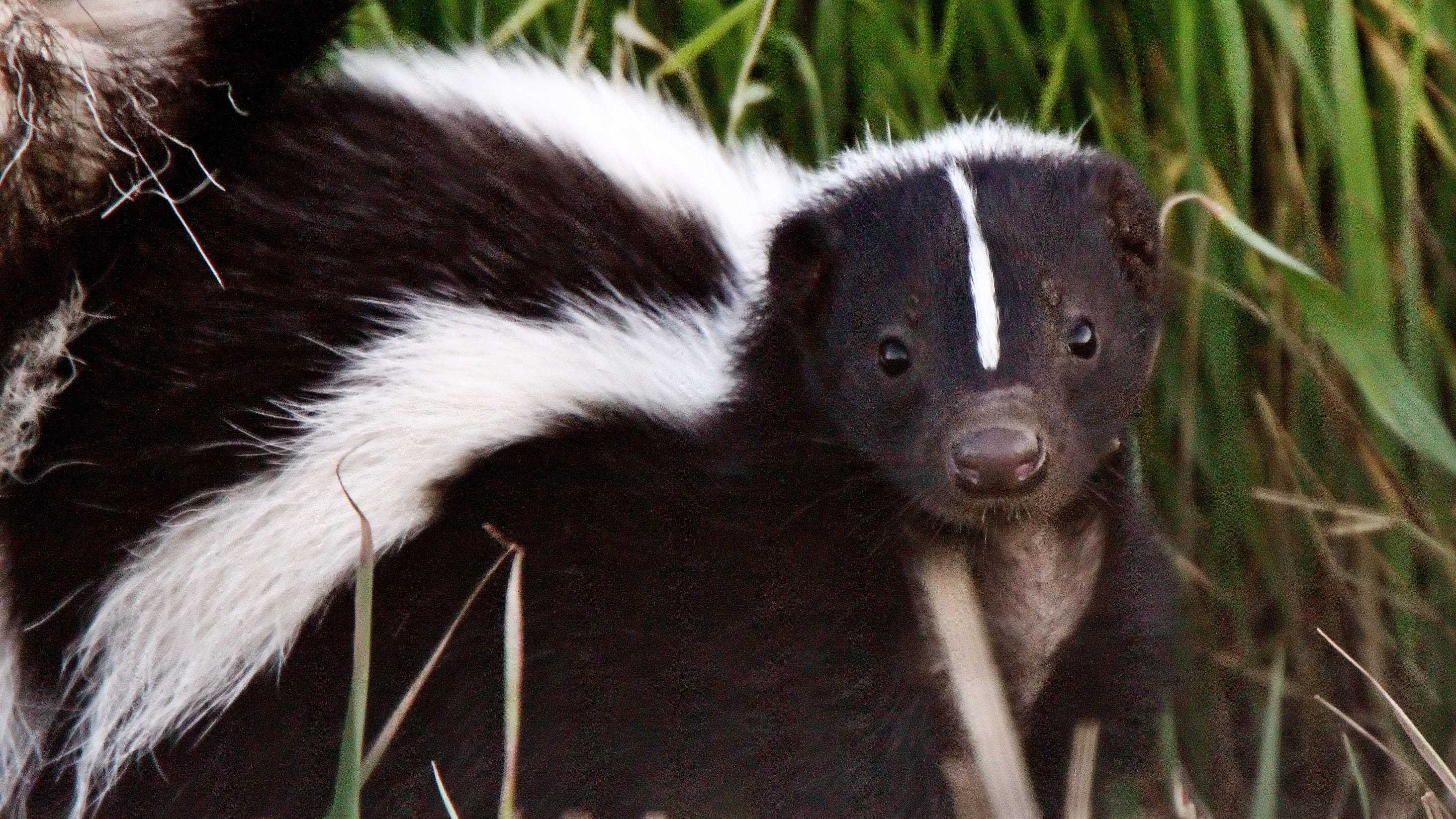 It S Skunk Mating Season In Kentucky And You Can Smell It