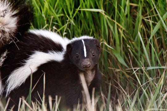 Angry skunks may pose a greater risk to the public than rabid bats because they are terrestrial animals, more likely to interact with humans and pets.