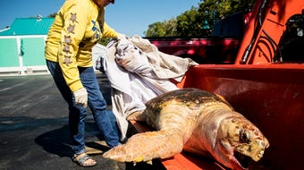Red tide rears its ugly head, again. Sea turtles, fish and other sea life dying