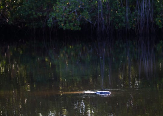 A manatee comes up for air in a canal in the Palm Acres neighborhood off Shell Point Boulevard in south Fort Myers. A developer has plans to build more homes in the area. He has applied for permits to rip out mangroves to build 55 homes. Some residents say they are concerned about environmental and traffic impacts on the neighborhood.