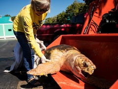 Lingering red tide gaining strength, killing sea turtles and moving into local bays