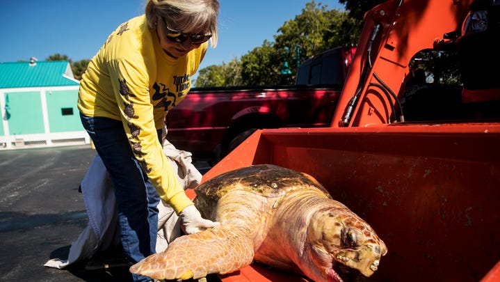 Lingering red tide gaining strength, killing sea turtles and moving into bays in Lee County