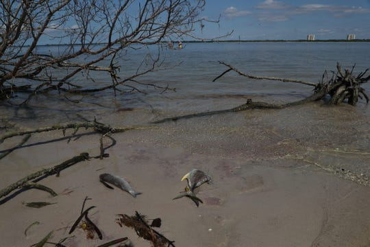 Red tide is off the coast of Southwest Florida again. These are images from Fort Myers Beach on Thursday October, 17, 2019. Eve Haverfield, the founder of Turtle TIme Inc. says eight dead sea turtles have been recovered from Bonita Beach and Fort Myers Beach. One loggerhead and seven Kemp's Ridley. Dead fish are starting to show up on Fort Myers Beach as well.