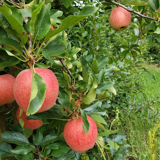 Apples at the Spicer Orchards apple orchard in Fenton as seen on Friday Sept. 20, 2019. The orchard, which sells apples had its Hartland location, had 7,000 pounds of apples stolen overnight Thursday Oct. 17, 2019.