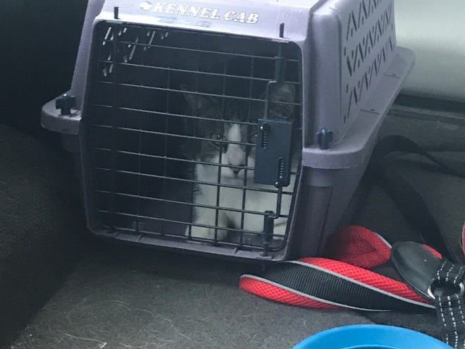 One of three cats living by Big Lots in Meridian Township was captured and turned over to a cat rescuer Thursday, Oct. 17, 2019. The cat was taken to a vet and checked out.