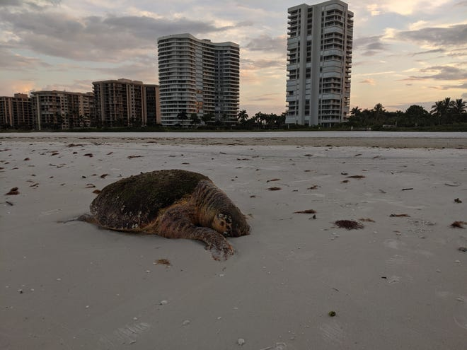 "Katherine Ebaugh, a former Marco Island resident, said she saw a 200 pound dead loggerhead turtle that washed ashore behind the Madeira condominium, close to the JW Marriott Beach Resort, on the morning of Oct. 17, 2019. ""It had no visible propeller marks,"" Ebaugh said."