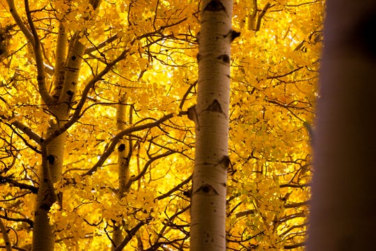 Aspen trees glow with yellow leaves on the Kachina trail in the San Francisco Peaks near Flagstaff on Oct. 15, 2019.