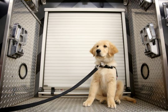Probie, a 12-week-old golden retriever, is joining the Sublimity Fire District as an emotional support animal for the volunteer firefighters and will help with community outreach. Photographed at the Sublimity Fire District on Oct. 16, 2019.