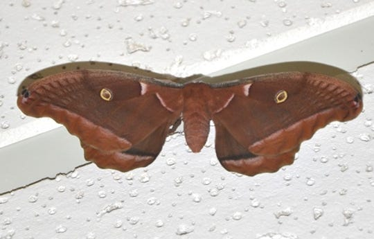 Some moths have wing spots which resemble eyes, and the abdomen resembles a nose.  With a little imagination, the face of an unknown creature appears where a harmless moth once rested.