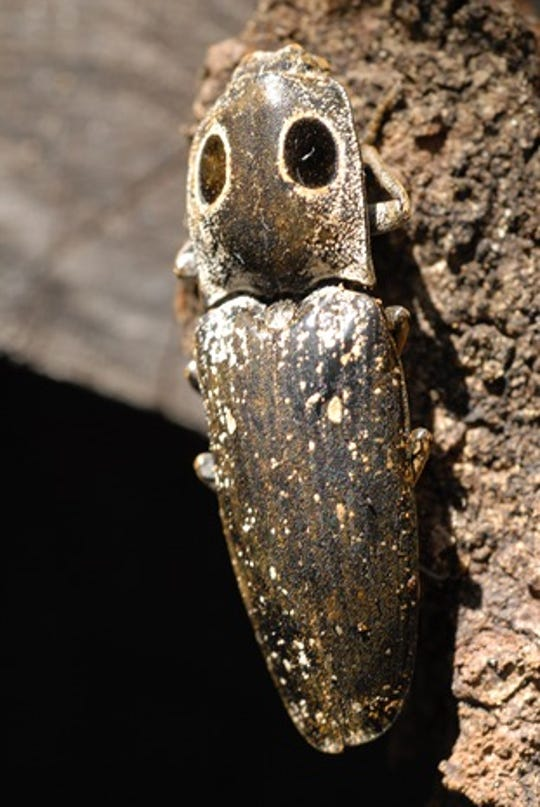 Eye-spots appear on this click beetle's most vulnerable location as a way of making a weakness appearing as strength.