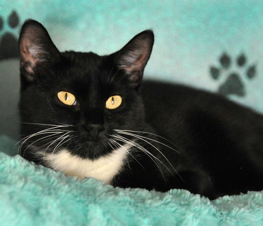 Meet 7-month-old Angelina. She is a spaded domestic short-haired cat that gets along with everybody, with dogs being a question mark. You can find Angelina and her feline friends at the Wichita County Humane Society.