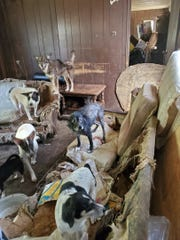 Madison County Animal Services seized 51 dogs from a home in the Spring Creek community Oct. 16.