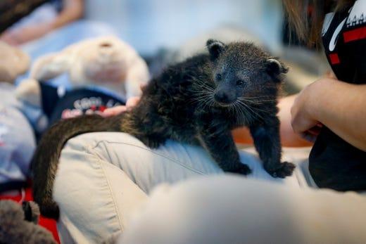 Cincinnati Zoo reveals new bearcat's name