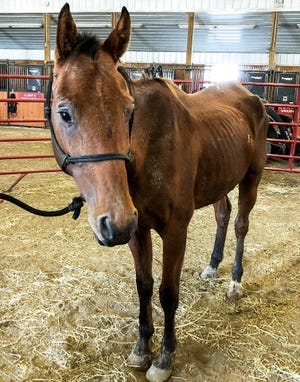 Three horses were surrendered by a Warren County owner due to accusations of neglect. One of the horses was emaciated with wounds on its front and back legs.