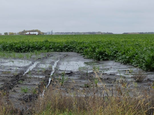 This Oct. 9, 2019 photo shows a sugar beet field near Stephen, Minn. Saturated soil is delaying harvest for many farmers. More than one inch of additional rain fell after the photo was taken.