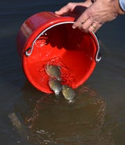 Environmental Consulting & Technology, Inc. senior scientist Marty Boote releases bluegill.