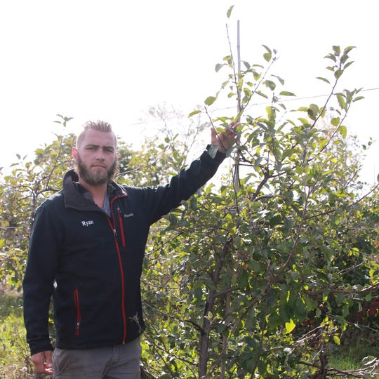 Ryan Spicer manager of a farm in Linden that supplies to Spicer Orchards Farm Market in Hartland, reaches toward the top of one of the apple trees where thieves harvested 180 bushels of apples off the trees.