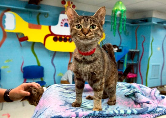 A cat waiting to be adopted roams freely in the Cat Lounge at the Vanderburgh Humane Society Friday afternoon, Oct. 18, 2019. The VHS says that many cats are facing euthanasia and are running a half-off sale through Oct. 31.