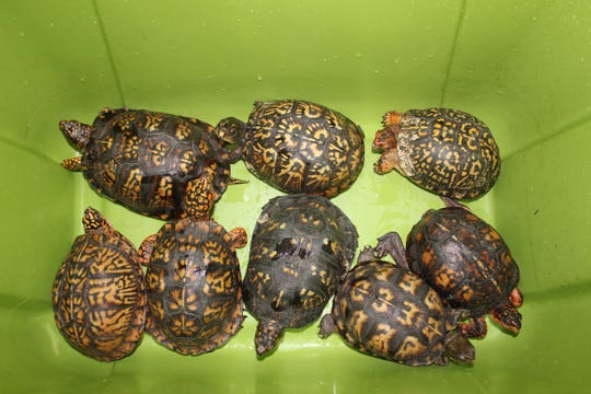 Some of the turtles seized from traffickers by FWC officers