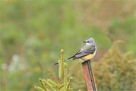 Scissor-tailed flycatcher at Woodland Dunes in Two Rivers.