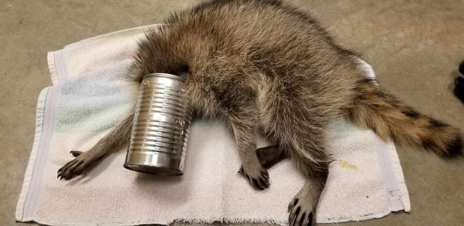 This raccoon was brought in to the Wildlife In Need Center in the town of Ottawa with its head stuck in a can. Staff members at the center were able to remove the can and the young male raccoon was released back into the wild the following evening.