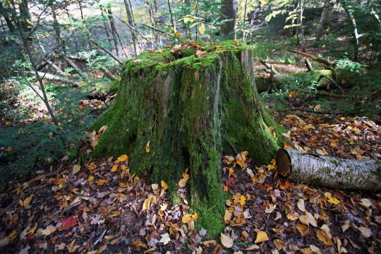 "This stump is all that remains of the ""King Pine"" in the Drummond Woods State Natural Area on Oct. 8, 2019. The white pine was Bayfield County's largest, standing 110 feet tall before it died in 1978."