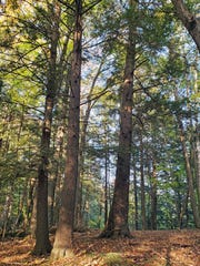 Old-growth white pines and hemlocks fill the Drummond Woods State Natural Area, pictured here on Oct. 8, 2019.