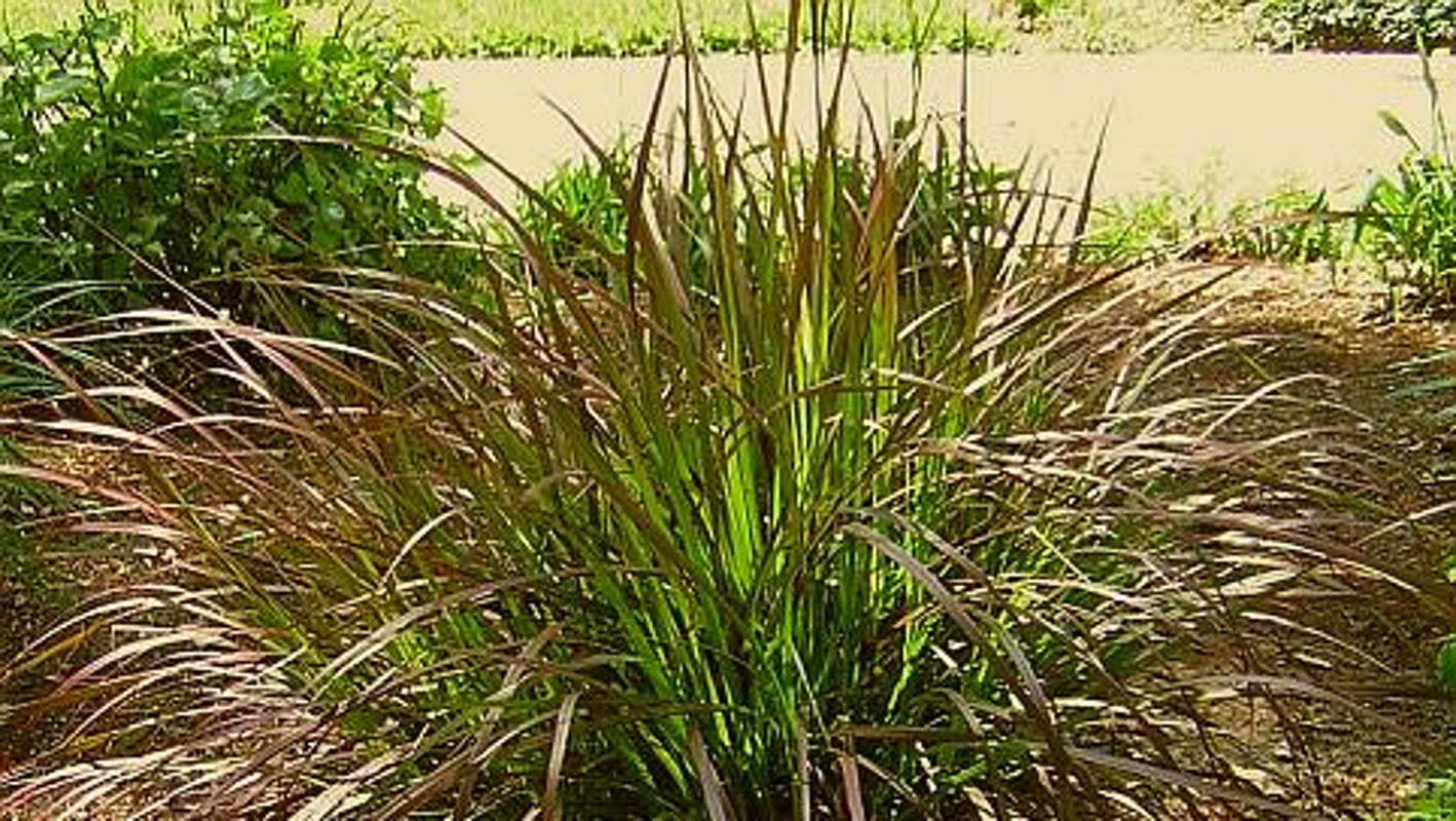 Add Some Zing To Your Landscape With Spectacular Ornamental Grasses