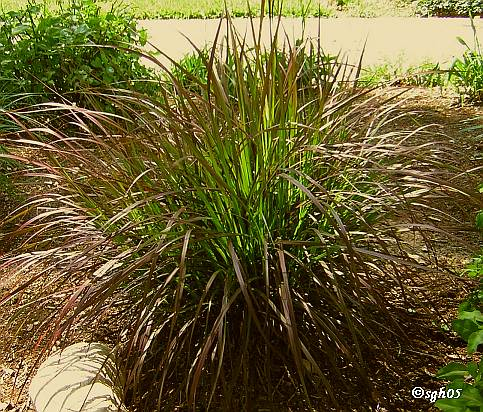 Purple fountain grass is one of the most spectacular ornamental-grass varietals.