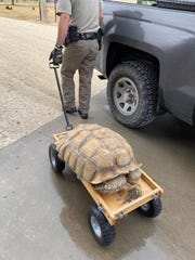 An African spurred tortoise that escaped from its enclosure in Schleicher County was picked up by Texas Game Wardens on Oct. 14, 2019.