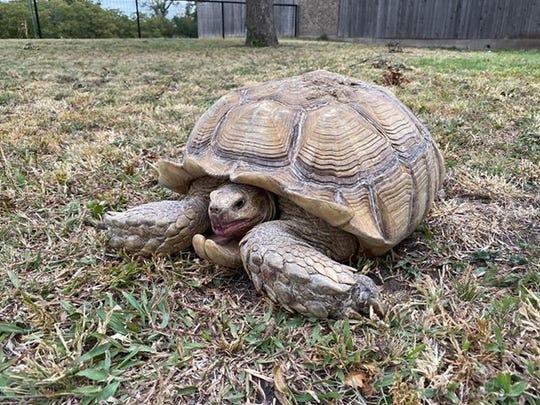 A runaway tortoise was found Sunday, Oct. 13, 2019, near a highway in Schleicher County.