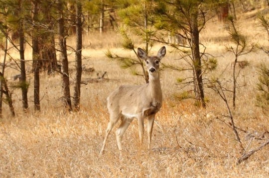 Chronic wasting deer was recently found in a 2-year-old whitetail deer in Bennett County.