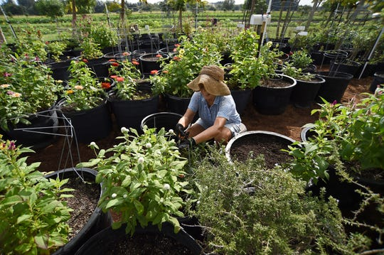 Volunteers help out at the Shining Light Garden, a nonprofit organization founded by Joel Bray, at 7275 49th Street, in Indian River County. The garden is in need of volunteers during their harvesting season.