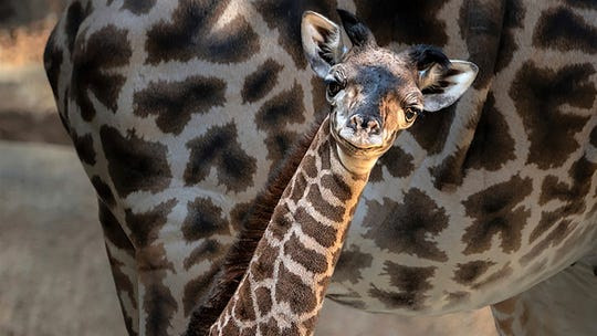 In this Wednesday photo provided by the Los Angeles Zoo, a baby Masai giraffe looks out from her enclosure. The zoo announced this week that the female giraffe was born Oct. 5, the fifth baby for the mother, Hasina and the sixth for the father, Phillip.