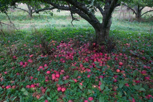 Hundreds of apples lay on the ground at Boones Mill, Va. on Oct. 10, 2019.  Apples, some of them mushy but others perfectly fine, litter the ground and emit a sweet smell. The orchard is quiet on this gray morning, save for the occasional gentle shake of a branch, followed by the thud of apples hitting the ground.